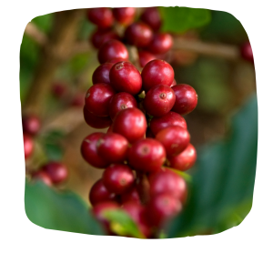 Image of bright red coffee cherries ready for picking.
