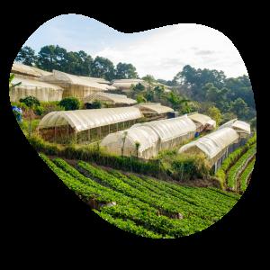 Coffee seedlings nurtured in greenhouses on the coffee plantation.